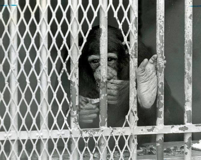 Herman King Of Lowry Park Zoo Tampa